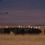 004-AFRICA-TANZANIA-N'GORONGORO-Buffalo-01