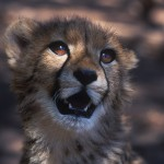 008-AFRICA-SOUTH.AFRICA-GREYSTONE.WILD.PARK-Cheetah-01