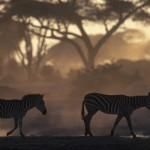 010-AFRICA-KENYA-MASAI.MARA-Zebra-01-S