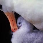 021-ANTARCTICA-FALKLAND'S-NEW.ISLAND-Albatross.021