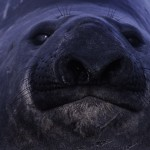 024-ANTARCTICA-FALKLAND'S-SEA.LION.ISLAND-Sea. Elephant-01