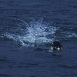 026-ANTARCTICA-MACQUARIE-HURD.POINT-Rockhopper.Penguin-02