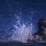029-ANTARCTICA-FALKLAND'S-SEA.LION.ISLAND-Duck