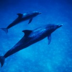 031-UNDER.SEA-NORTH.AMERICA-BAHAMAS-Spotted.dolphin