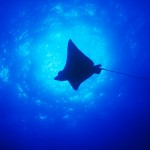 036-ASIA-MALDIVES-eagle-ray