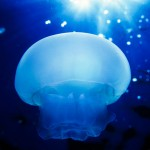 037-UNDER.SEA-EUROPE-MEDITARRANEAN.SEA-CORSICA-Jellyfish