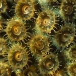 038-NORTH.AMERICA-BAHAMAS-Coral.polyp