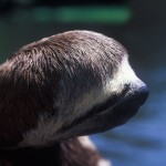 048-SOUTH.AMERICA-AMAZONIA-BRASIL-Sloth