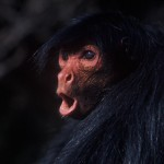 049-SOUTH.AMERICA-AMAZONIA-BRASIL-Woolly.spider.monkey