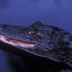 055-SOUTH.AMERICA-COSTARICA-Caiman