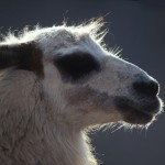 056-SOUTH.AMERICA-CHILI-LEUCA-ANDES-Alpaca