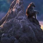 076-AFRICA-ZIMBABWE-HWANGE-Baboon.on.termite.mound