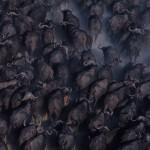 077-AFRICA-BOTSWANA-OKAVANGO-Buffalos-Aerial.view
