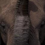 080-AFRICA-KENYA-AMBOSELI-Elephant