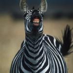 081-AFRICA-TANZANIA-SERENGETI-Burchell.zebra