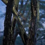 082-AFRICA-TANZANIA-N'GORONGORO-Leopard