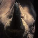 083-AFRICA-KENYA-MONT.KENYA.Rhinoceros