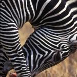084-AFRICA-KENYA-MASAI.MARA-Burchell.zebra