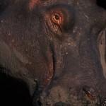 085-AFRICA-BOTSWANA-CHOBE-Hippopotamus