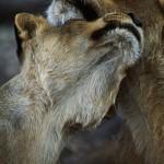089-AFRICA-ZAMBIA-LOWER.ZAMBEZI-Lioness