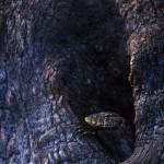 090-AFRICA-ZIMBABWE-HWANGE-Agama.lizard