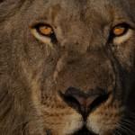 Africa, Afrique, Zimbabwe, Hwange, Lion, Pride, fierté