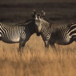 097-AFRICA-SOUTH.AFRICA-CRADOCK-Montain.zebras
