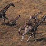 098-AFRICA-BOTSWANA-OKAVANGO-Giraffes-Aerial.view