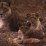 100-AFRICA-SOUTH.AFRICA-TSHUKUDU-Lions