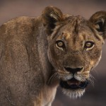 103-AFRICA-ZAMBIA-LOWER.ZAMBEZI-Lionesse