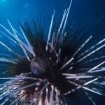 116-ASIA-PHILIPPINES-Sea.urchin