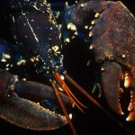 131-EUROPE-MEDITERRANEAN-FRANCE-BANYULS-Lobster