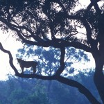136-AFRICA-BOTSWANA-SAVUTI-Lioness