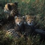 Wildlife, Safari, animals, Africa, Kenya, Masai-Mara, Cheetah
