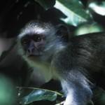 Wildlife, Africa, Zambia, Safari, Livingstone, monkeys, vervet
