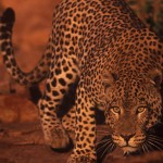 Wildlife, Africa, Namibia, cat, leopard
