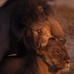 Wildlife, Africa, Zimbabwe, Hwange, Lions mating