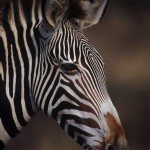 Wildlife, Africa, Kenya, Samburu, Grévy zebra, Imperial zebra