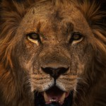 Wildlife, Africa, Zambia, Lower Zambezi, male lion