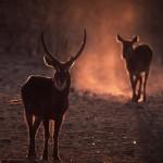 Wildlife, Africa, Namibia, Etosha, Antelope, Waterbuck, cobe des marais, cobe à croissant
