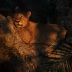 Wildlife, Africa, Zambia, Kafue, Busanga, lion