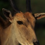 Wildlife, Africa, South Africa, Kouga montains, antelope, eland,