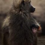 Wildlife, Africa, Botswana, Hwange, baboo, baby baboo