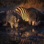 Wildlife, Africa, South Africa, Kruger, Madikwe, zebra