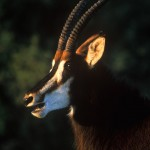 Wildlife, Africa, South Africa, Kouga montains, Hyppotrague, Sable antelope