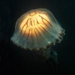 Underwater, milieu sous-marin, Diving, plongée, Celtic sea, mer celtique, striped jellyfish, méduse rayée
