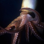 Underwater, milieu sous-marin, Diving, plongée, Mediterranean, Méditerranée, Corsica, Calvi, octopus, poulpe