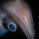 Underwater, milieu sous-marin, Diving, plongée, Sarawak, Malaysia, Malaisie, Squid, calmar