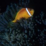 Underwater, milieu sous-marin, Diving, plongée, Fish, poisson, Philippines, Cebu, Clown fish, poisson clown, sea anemone, anémone de mer