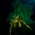 Underwater, milieu sous-marin, Diving, plongée, Mediterranean, Méditerranée, Italia, Calabria, Sea spider, crabe macropode